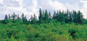 Forêt de mélèzes Durmenach, JP Girard