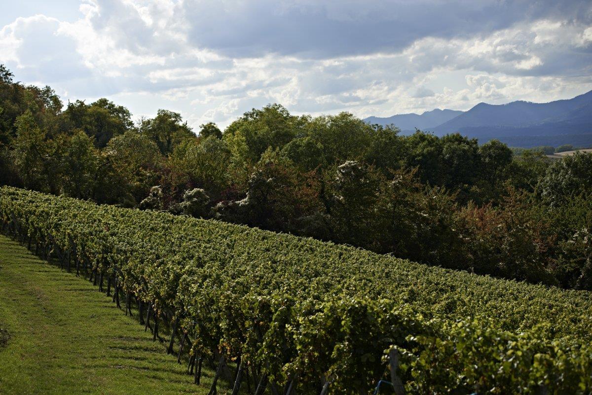 Sentier viticole de Wangen