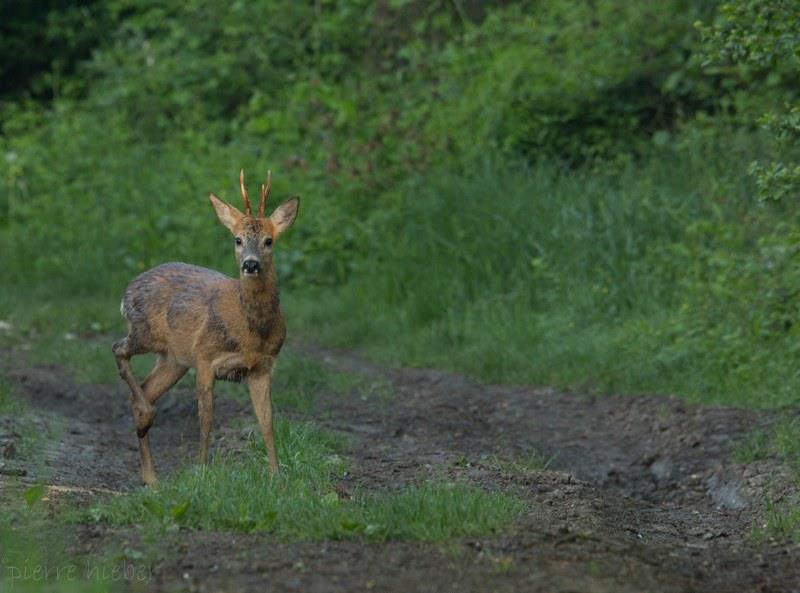 Discovery outing: the roe deer