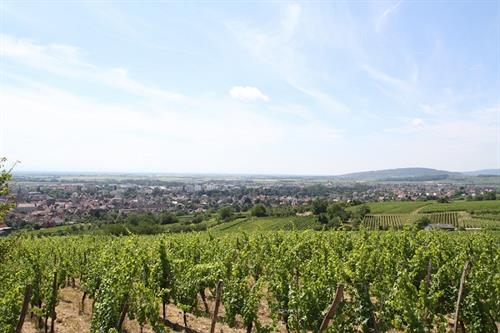Vignoble de Molsheim - crédit photo Mairie Molsheim