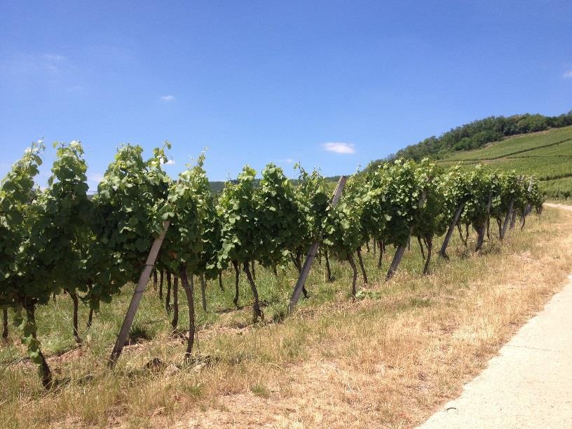 Sentier viticole de Marlenheim