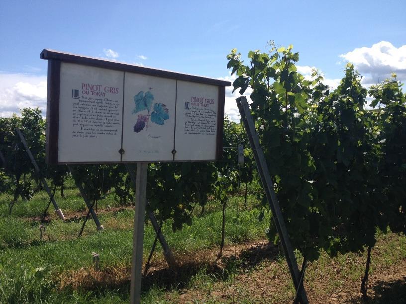 Sentier viticole de Dahlenheim