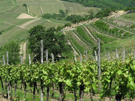 Découverte de la viticulture albégeoise