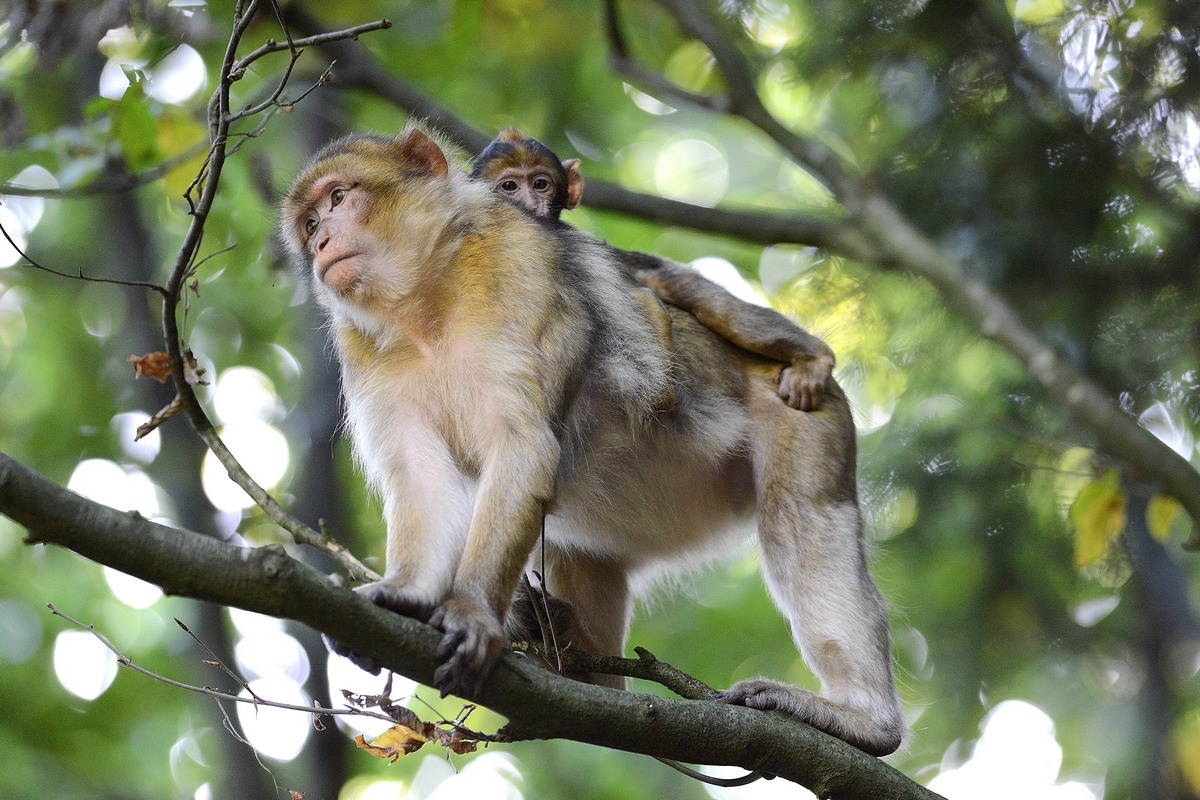 Macaque de Barbarie dans les pâquerettes