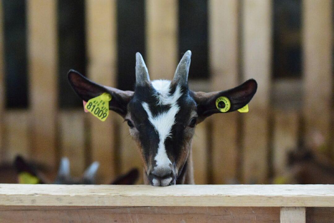 Les Chèvres de Madame Oudin