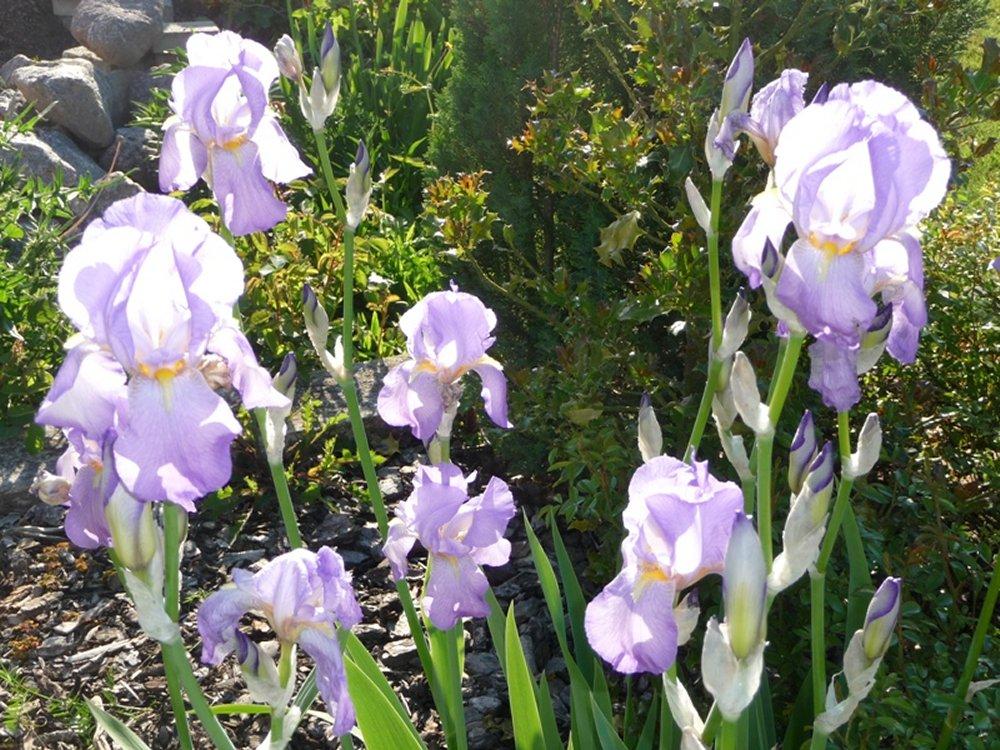 Le jardin des iris haguenau - Le jardin haguenau ...