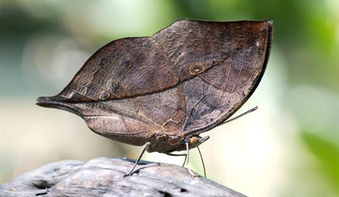 Papillon feuille Kalima - Fabien Monteil