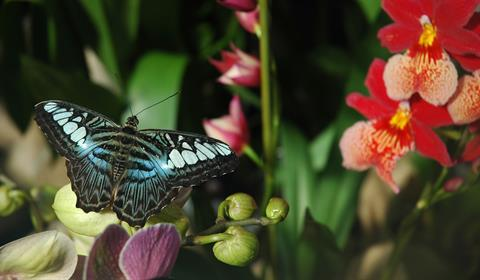 Heliconius Melpomene du Costa Rica - crédit photo : jardin des papillons