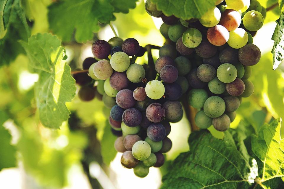 Fête vigneronne