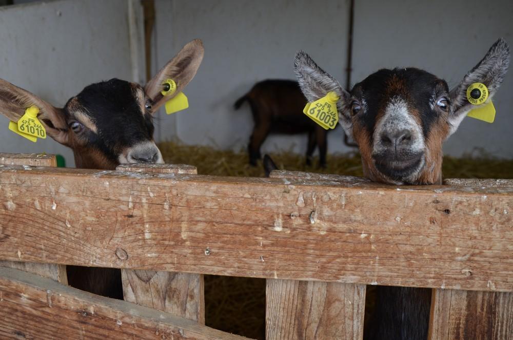 La chèvrerie - Ferme pédagogique
