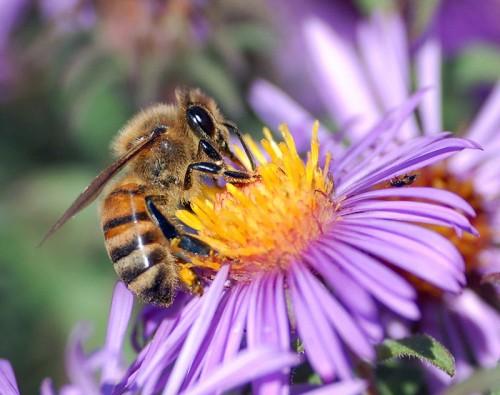 Api' Noël by the bees
