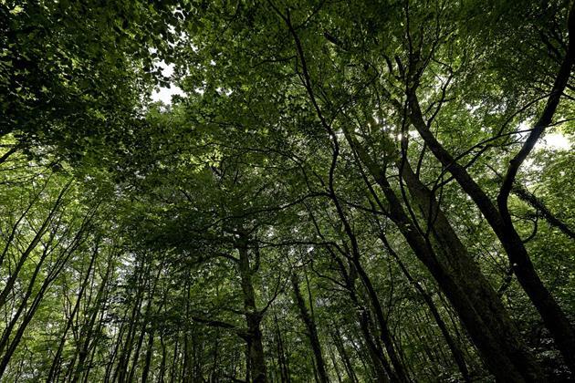 Canopée autour du Guirbaden©C.Hamm