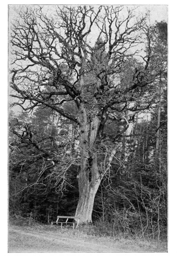 The big oak in 1911 photographed by Wilhelm Lessel.
