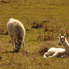 Les lamas de la ferme du Hornihof de Kiffis - © Vianney MULLER