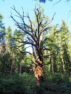 Chêne géant du Morimont