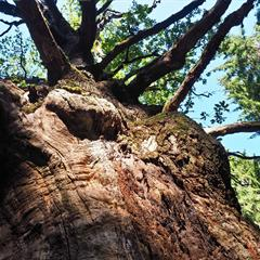 Chêne du Morimont - © Vianney MULLER