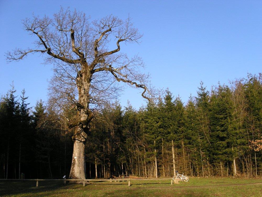 Gros chêne Sondersdorf