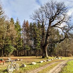 Gros chêne de Sondersdorf - © Vianney MULLER