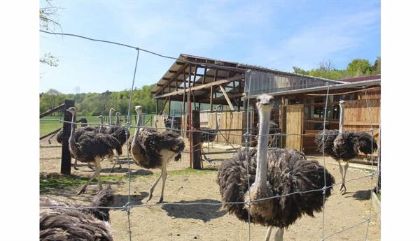 Ostrich farm in Sondersdorf