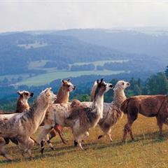 Les lamas du Hornihof - © Office de Tourisme du Sundgau