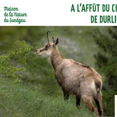 Le chamois - © Maison de la Nature du Sundgau - Altenach