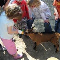 Animations estivales au Luppachhof :  la traite des chèvres