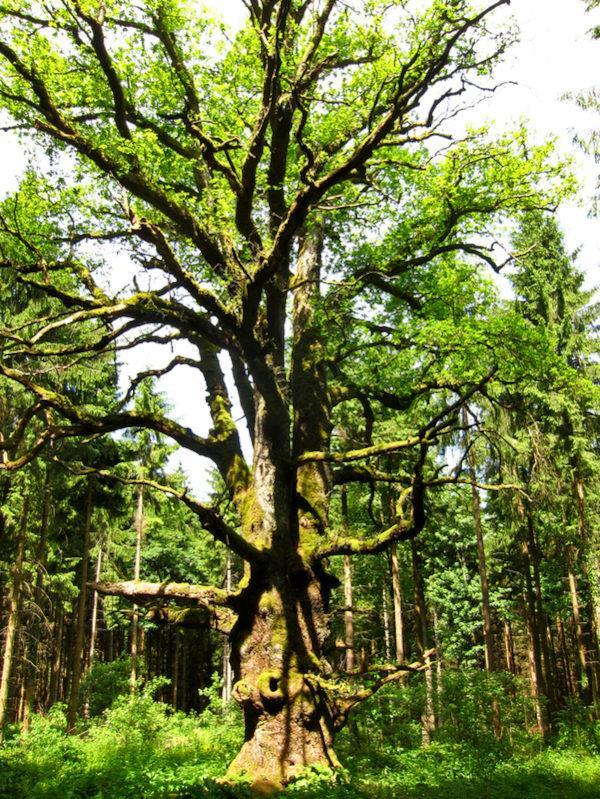 Chêne du Morimont