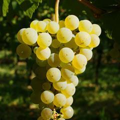 - © © ZVARDON Conseil Wines Alsace