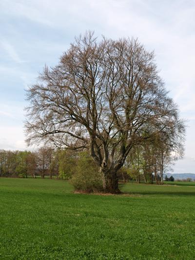 Hêtres de pâturage Oberlarg