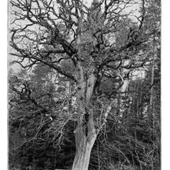 Le gros chêne en 1911 photographié par Wilhelm Lessel. - © Wilhelm Lessel.