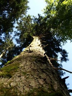 The Big Tree Trail