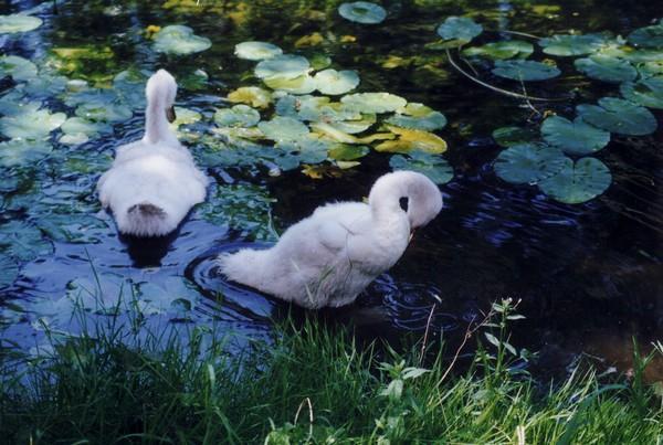Bébés cygnes - L. Bessel