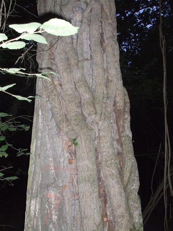 lianes sur un arbre