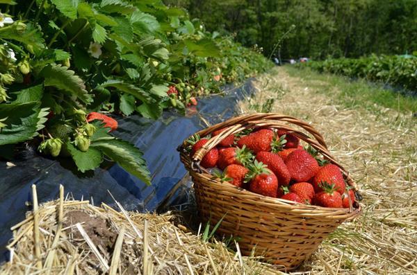 © Au jardin des fraises
