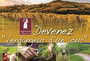 Wine harvesting for tourists