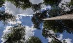 Haguenau forest