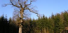 Gros chêne Raedersdorf