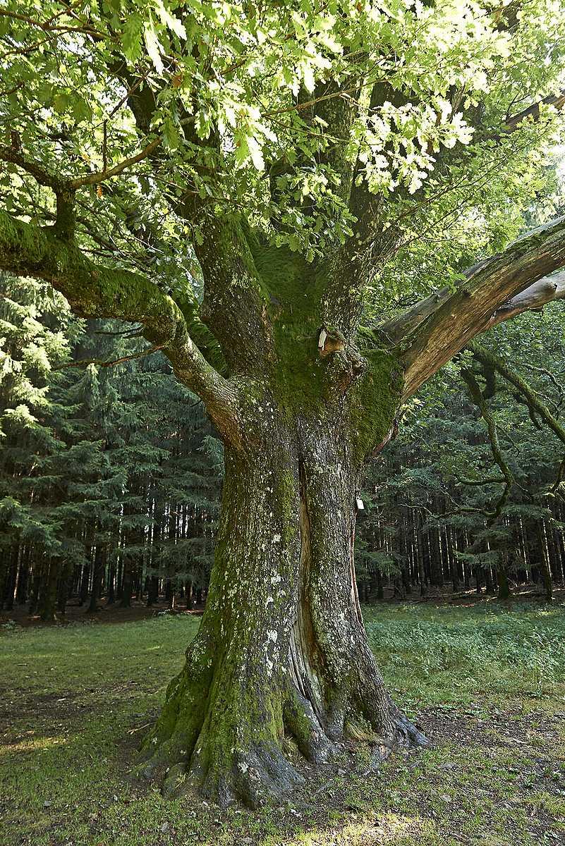 Le Chêne de Salm
