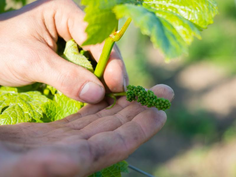 Alsace Écotourisme – Les plantes sauvages et la vigne