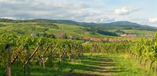 Blienschwiller: Vineyard-trail -