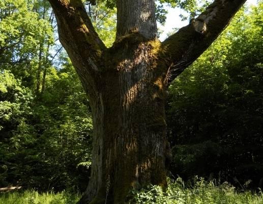Les chênes napoléoniens Hirschland