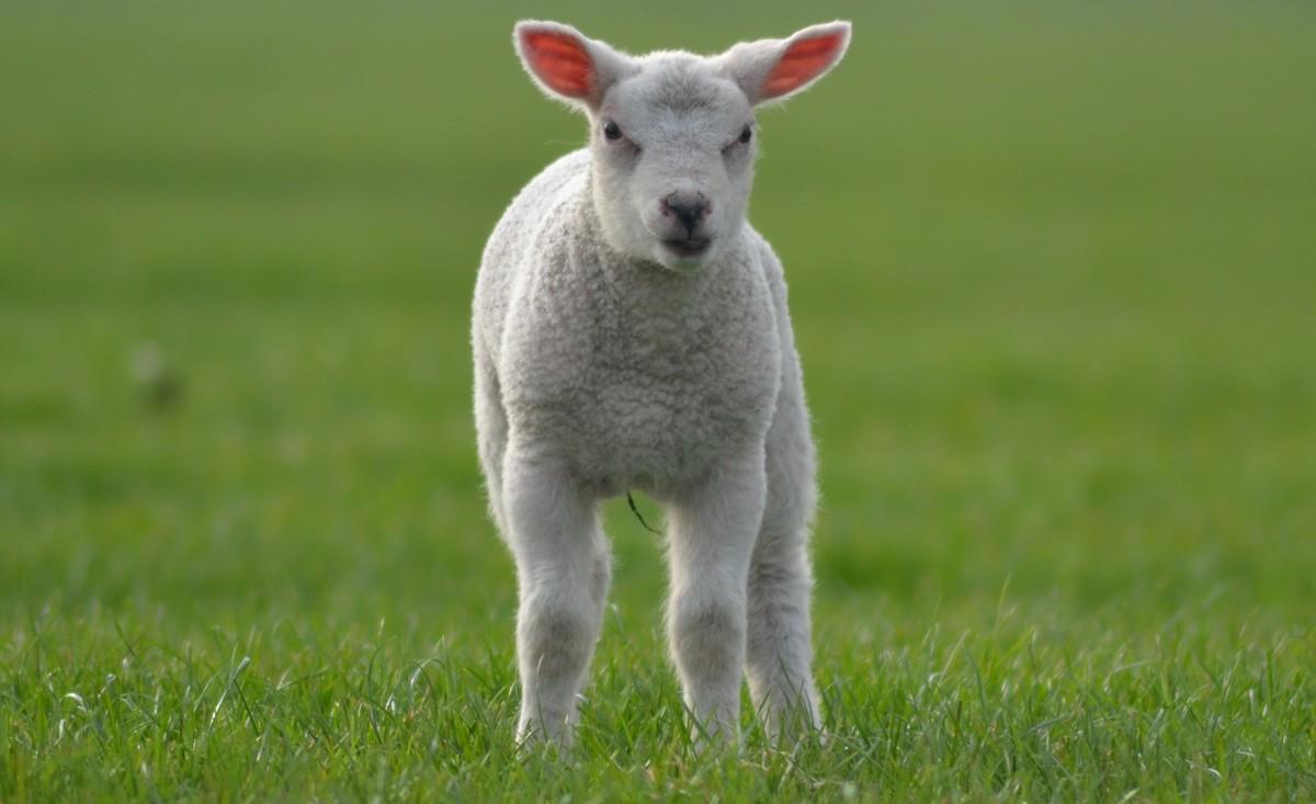 Visite guidée de l'exploitation du Buscherhof : des moutons dans les vergers