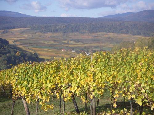 Vignoble, Pays de Rouffach, Vignobles et Châteaux, Haut-Rhin, Alsace