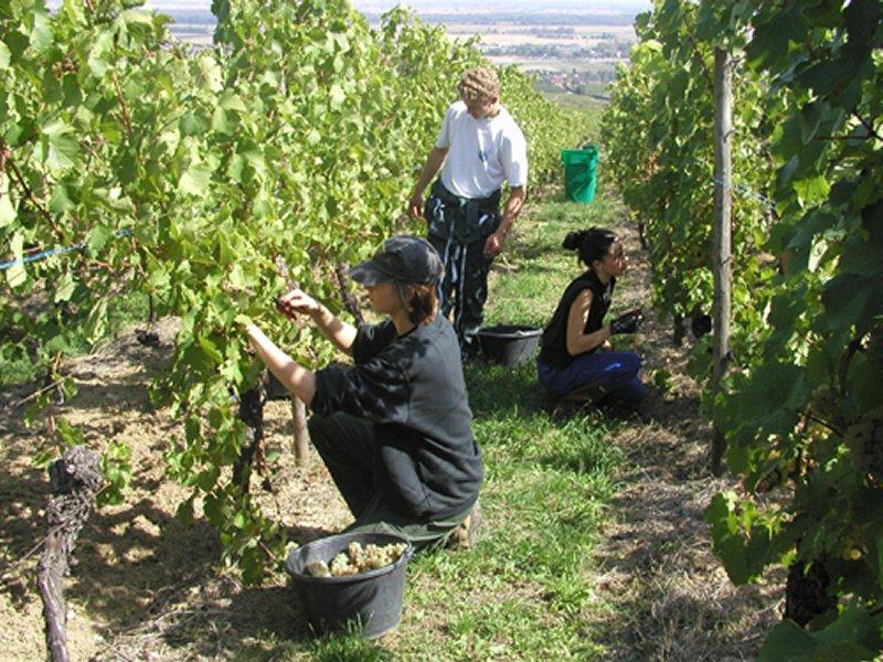 Vendanges, Pays de Rouffach, Vignobles et Châteaux, Haut-Rhin, Alsace
