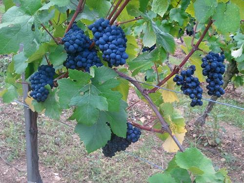 Pinot Noir, Pays de Rouffach, Vignobles et Châteaux, Haut-Rhin, Alsace