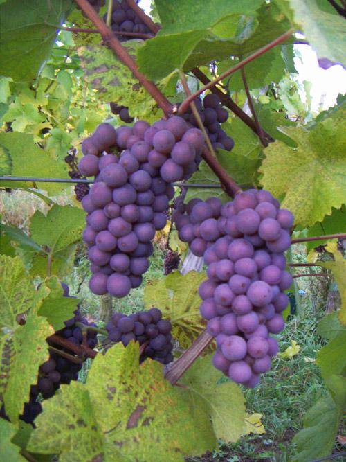 Pinot Gris, Pays de Rouffach, Vignobles et Châteaux, Haut-Rhin, Alsace