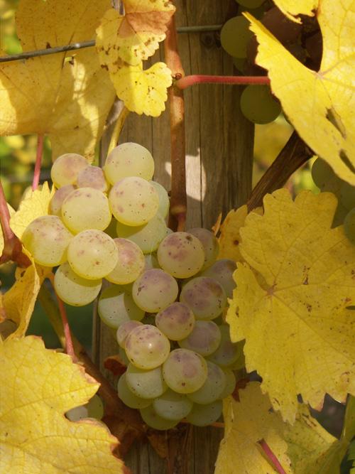 Sylvaner, Pays de Rouffach, Vignobles et Châteaux, Haut-Rhin, Alsace
