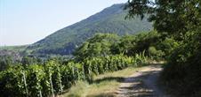 Weinlehrpfad von Scherwiller