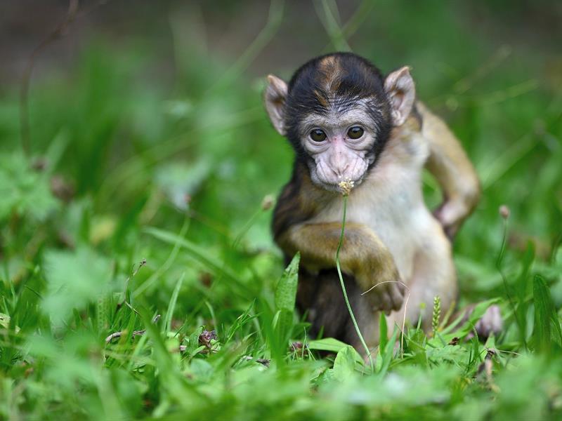 Femelle et bébé macaques de Barbarie