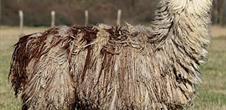 Ferme du Krefft : rencontre avec les lamas